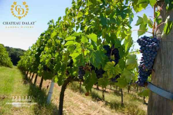 Cánh đồng nho với chất lượng tuyệt hảo của Rượu Vang Chateau Dalat
