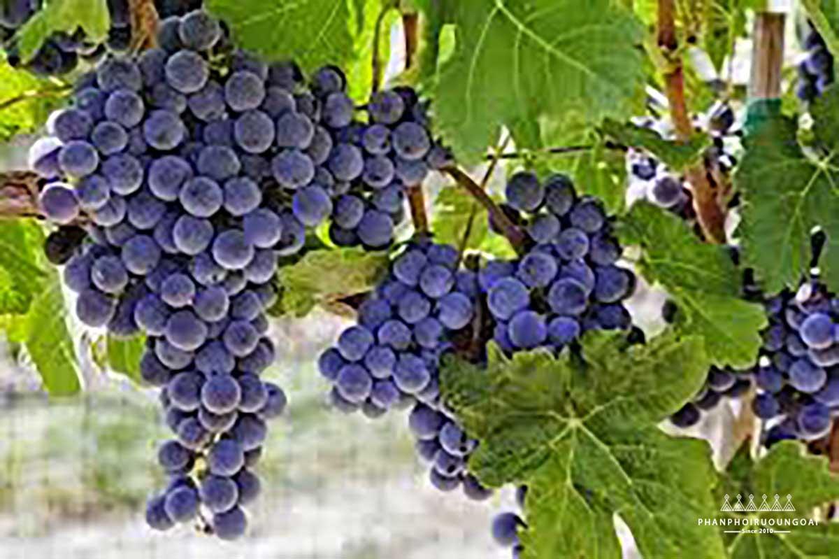 Cây nho và giống nho ảnh hưởng đến chất lượng rượu vang