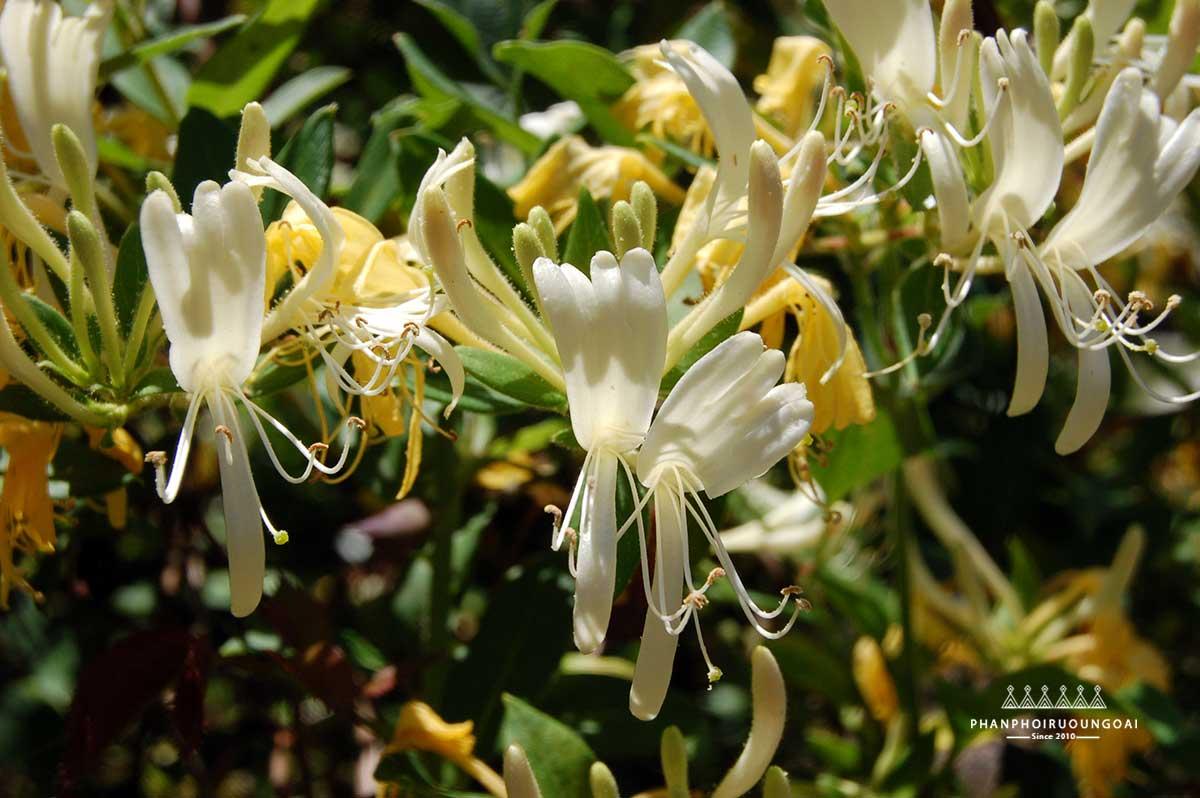 HoneySuckle là hoa kim ngân trong Loch Lomond