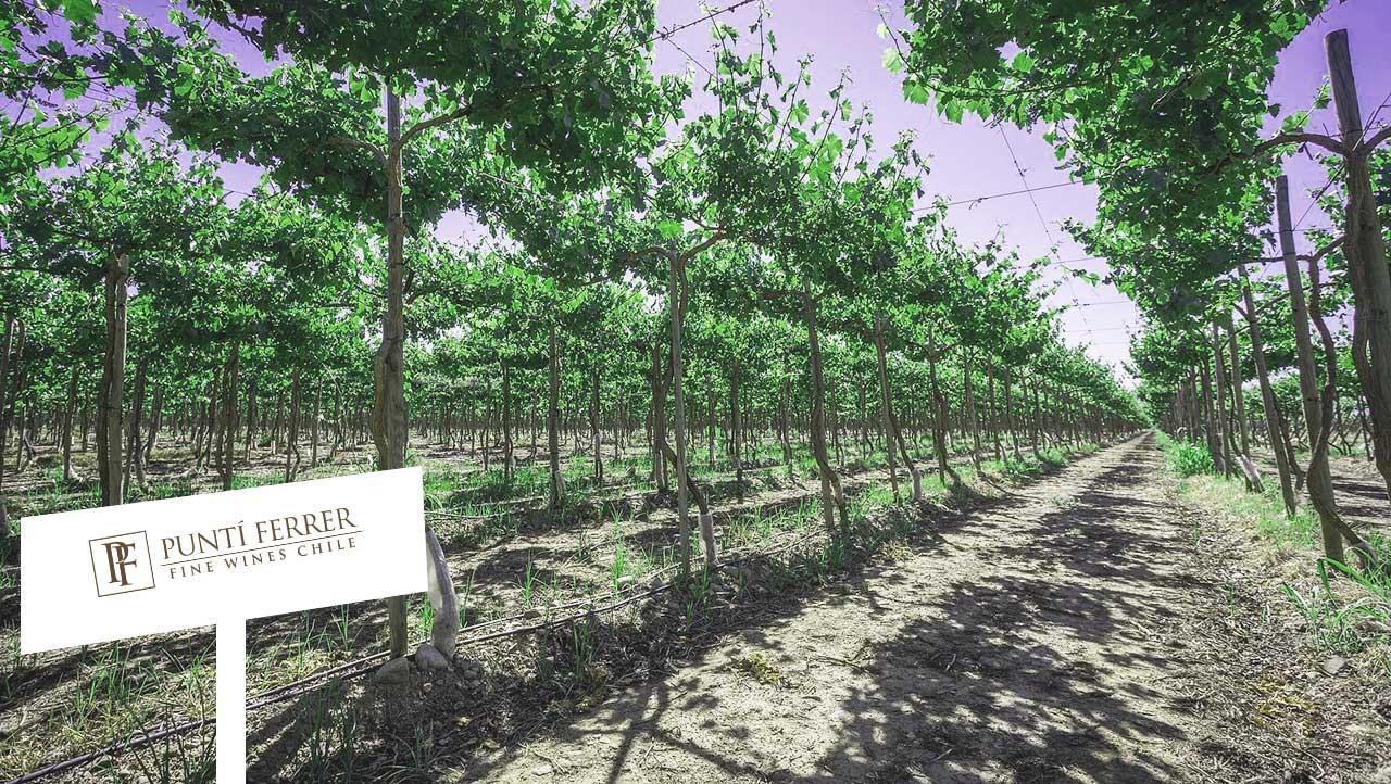Vườn nho nhà Puntin Ferrer