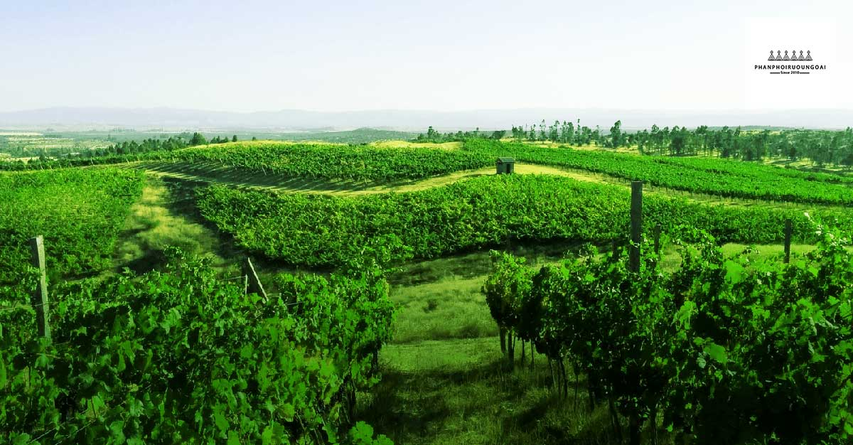 Hình ảnh vườn nho tại Colchagua Valley