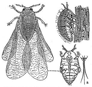 Loài Rệp ăn rễ cây nho