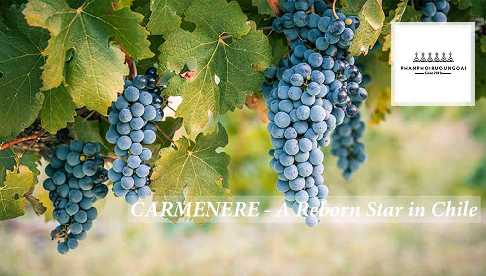 Tìm hiểu giống nho Carménère