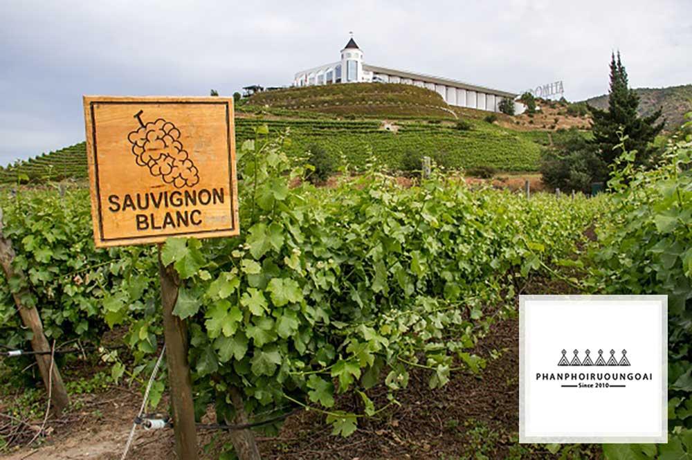 Vườn nho Sauvignon Blanc