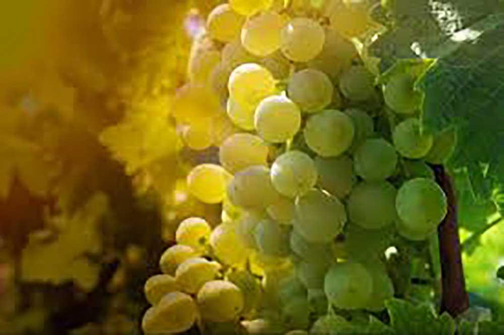 Giống nho Sauvignon Blanc tại các quốc gia có khác nhau