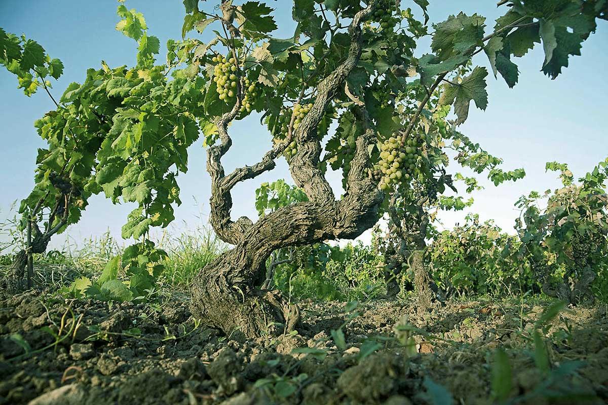 Một số luật lệ của rượu vang Ý