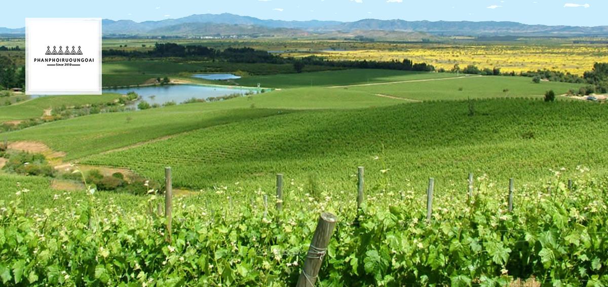 Vườn nho xanh ngát tại Colchagua Valley
