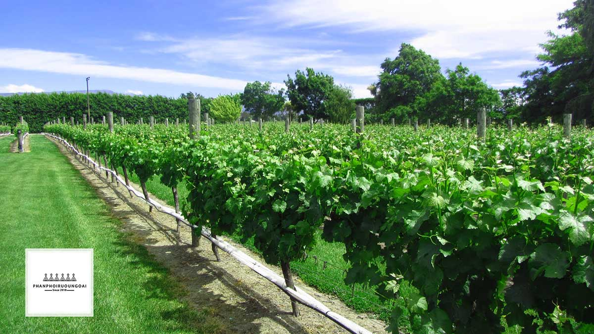 Vườn nho Sauvignon Blanc tại Marlborough - New Zealand