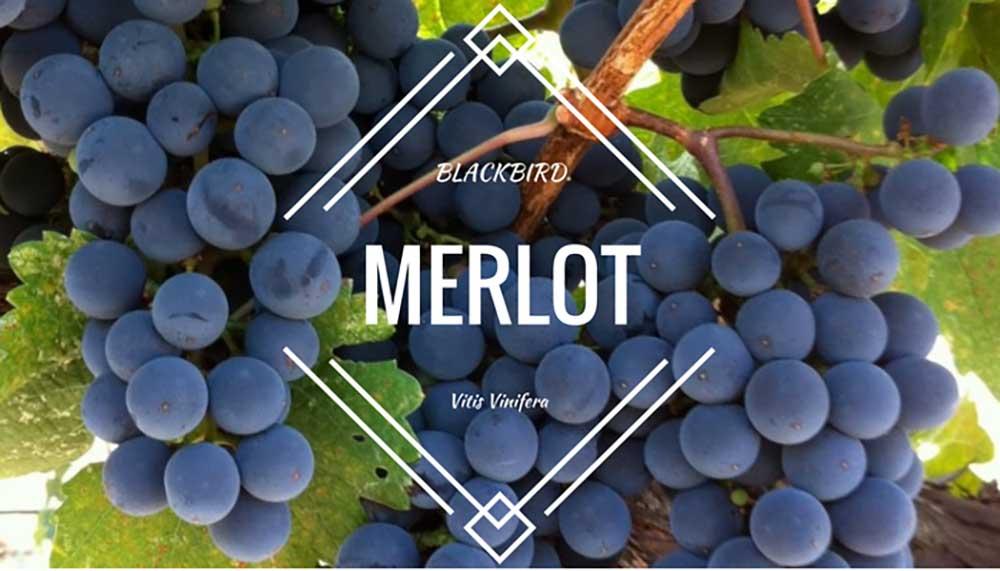 Giới thiệu giống nho rượu Merlot nổi tiếng của nước Pháp