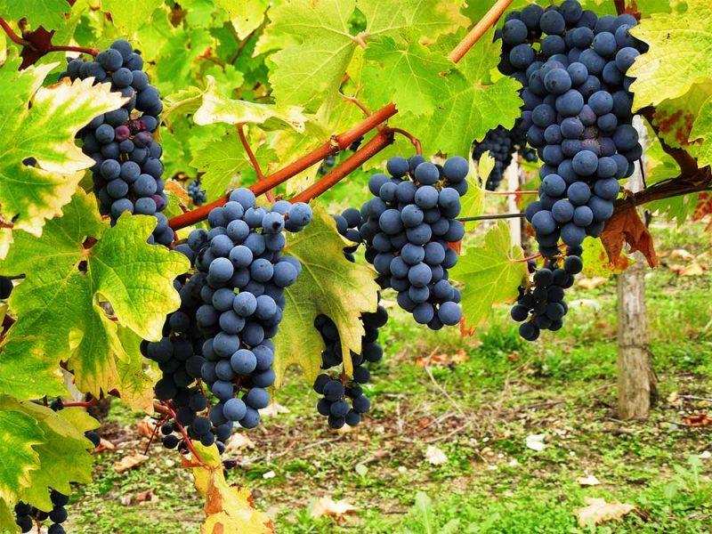 Rượu Song Long - Giới thiệu về giống nho Cabernet Sauvignon