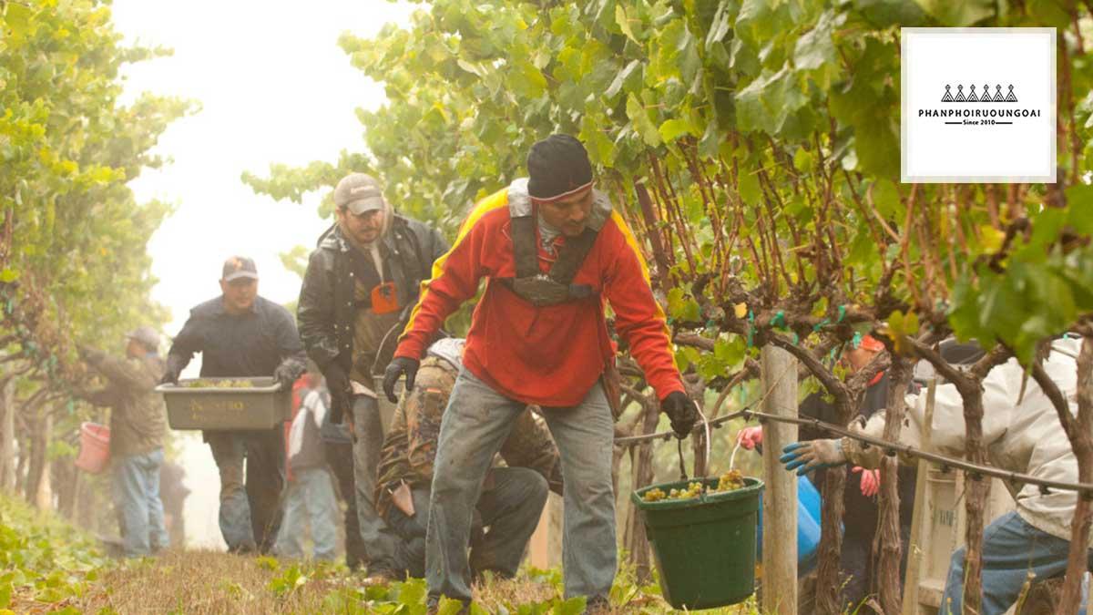 Nông dân thu hoach nho Gewurztraminer và Chardonnay