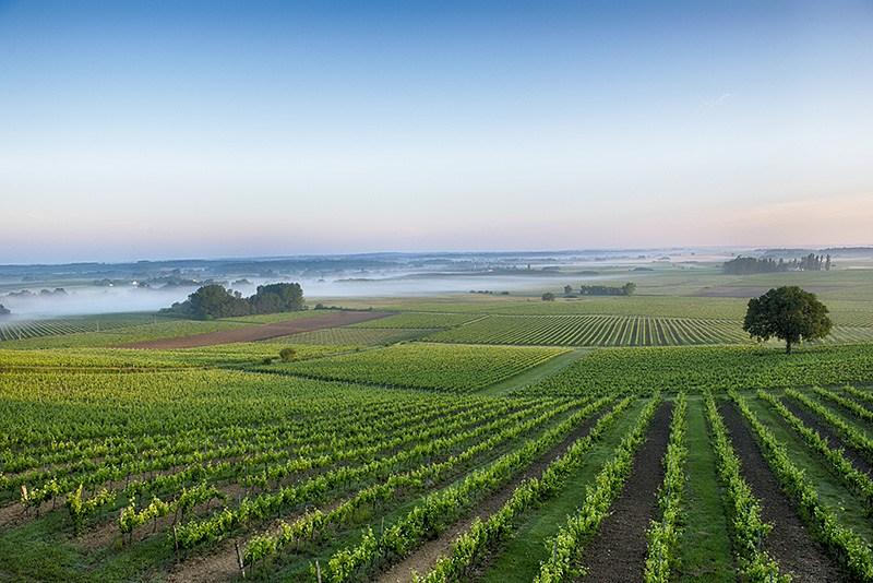 Vườn nho tại Entre Deux Mers của UG Bordeaux Pierre