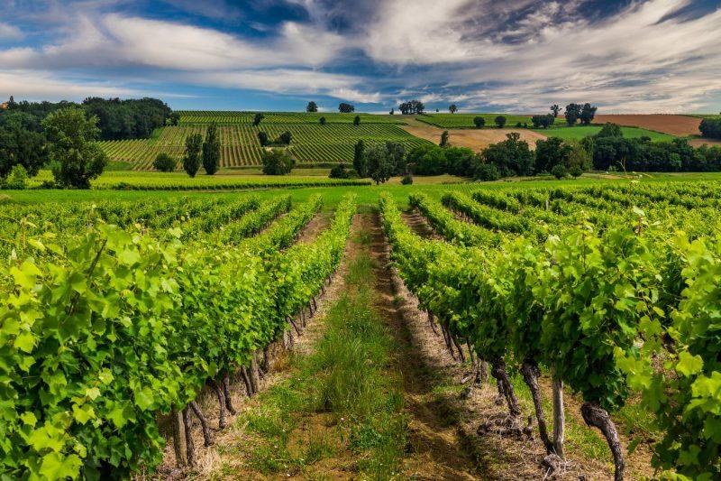 Vườn nho của Chateau Lande de Bertin Bordeaux