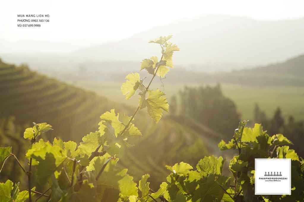 Kiến tạo nền nông nghiệp bền vừng với rượu vang Chile Yali Swan