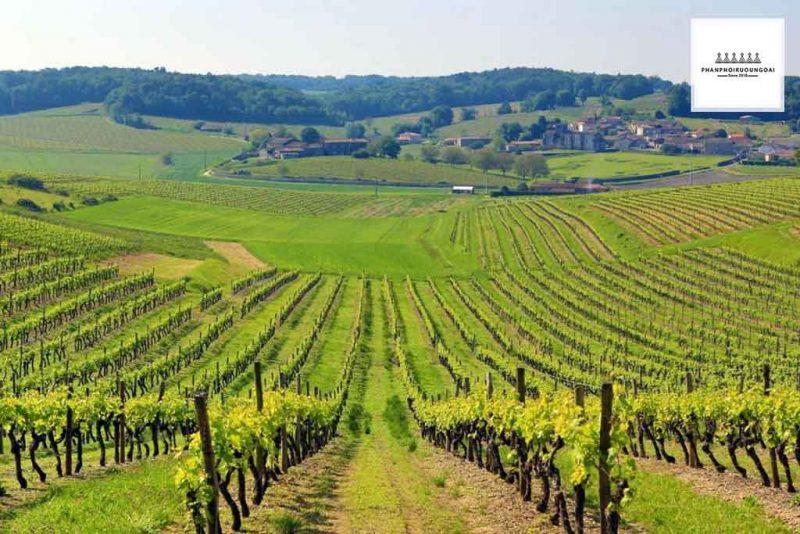 Vườn nho tuyệt đẹp tại Bordeaux Pháp