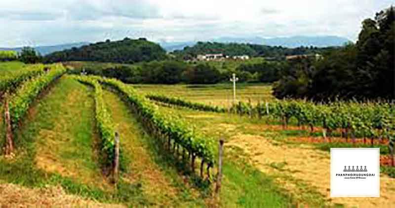 Vườn nho tại khu tự trị Offida Ý