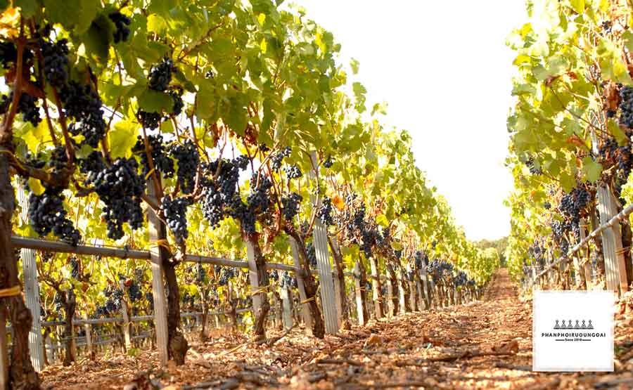 Vườn nho tại thung lũng Itria Valley vời những trái nho chín mọng