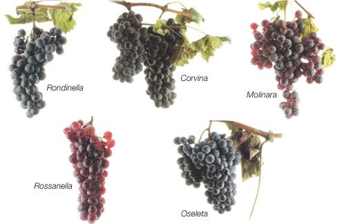 Các loại nho làm rượu vang của vùng Valpolicella