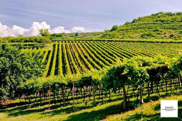 Vườn nho tại cùng Valpolicella - Veneto - Ý