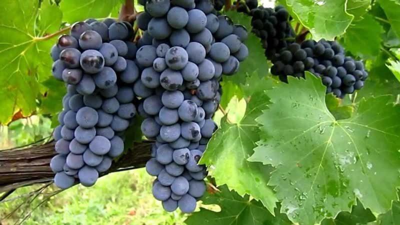 Tìm hiểu giống nho rượu Sangiovese có xuất xứ tại Italy