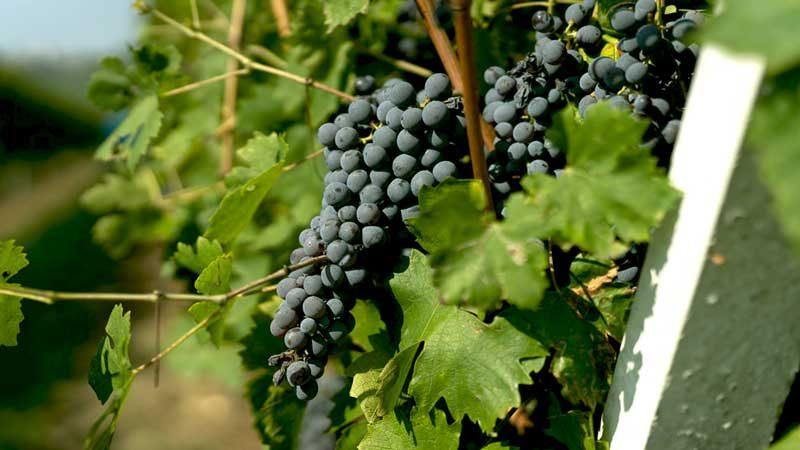 Tìm hiểu phong cách làm rượu vang Valpolicella Blend