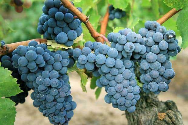 Tìm hiểu thông tin giống nho rượu Carignan