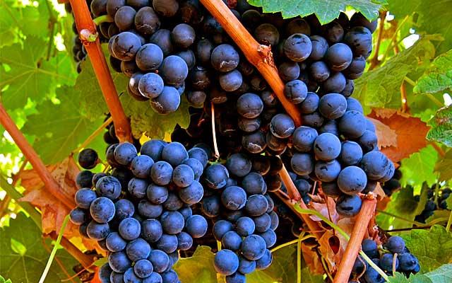 Tìm hiểu thông tin giống nho rượu Merlot xuất xứ từ Pháp