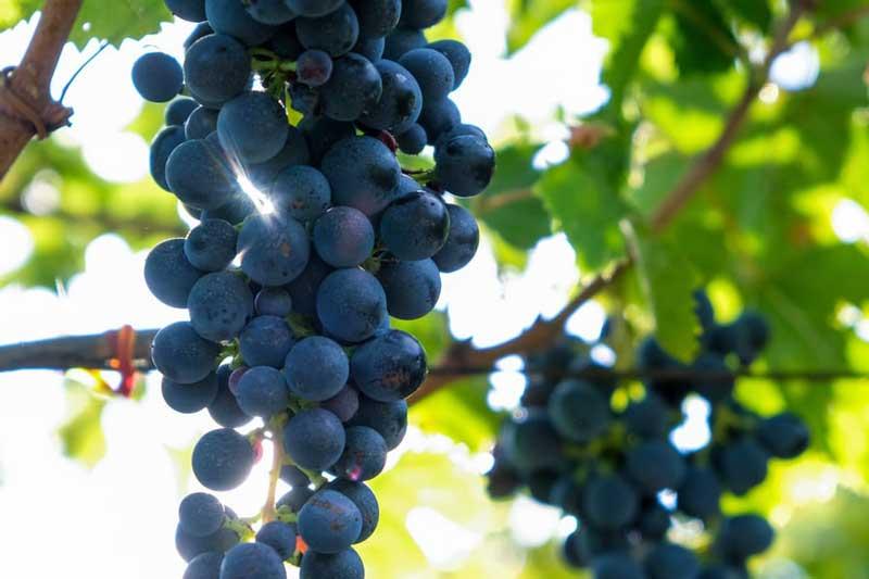 Tìm hiểu thông tin giống nho rượu Montepulciano