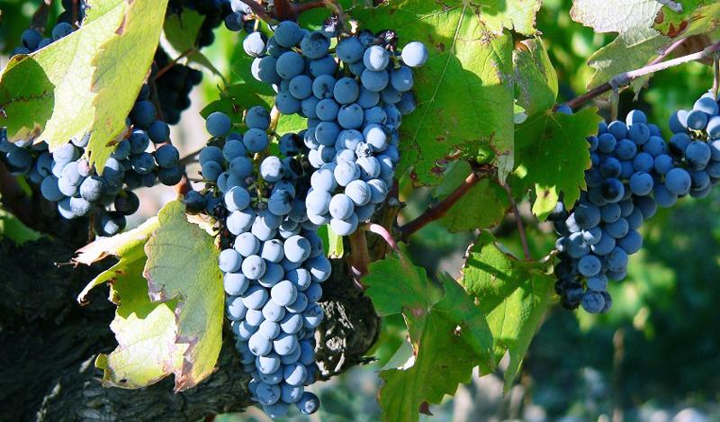 Tìm hiểu thông tin giống nho rượu Negroamaro