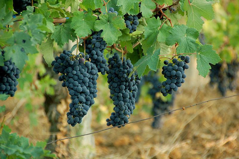 Tìm hiểu thông tin về giống nho rượu Barbera