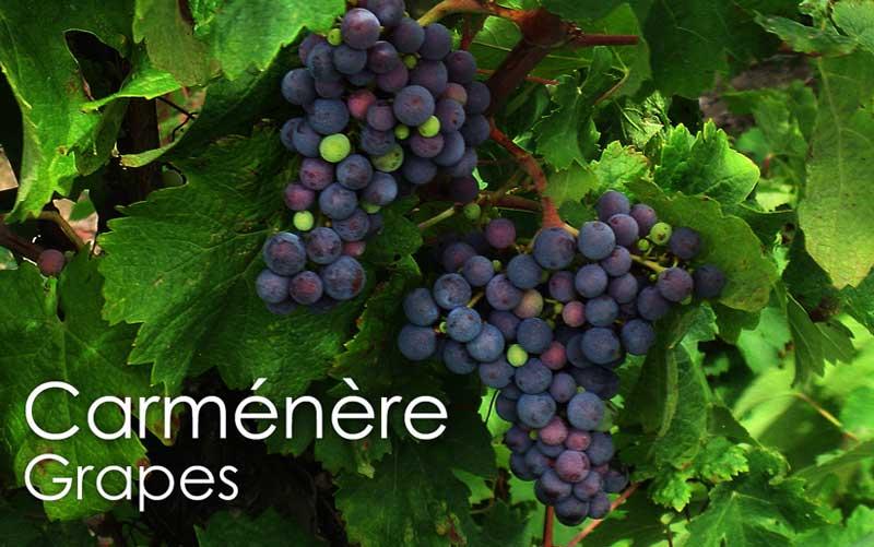 Tìm hiểu thông tin về giống nho rượu Carmenere