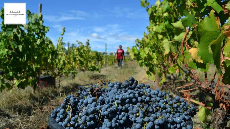 Thu hoạch nho rượu Touriga Nacional tại Bồ Đào Nha