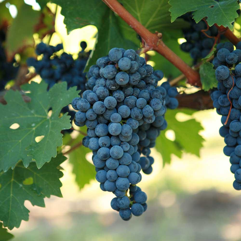 Tìm hiểu thông tin giống nho rượu Cabernet Sauvignon
