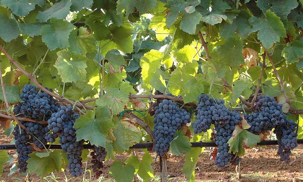 Tìm hiểu thông tin giống nho rượu Nero D'Avola
