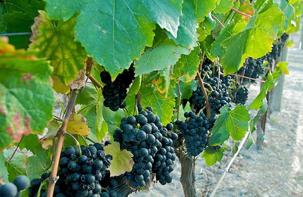 Tìm hiểu thông tin giống nho rượu Petit Verdot