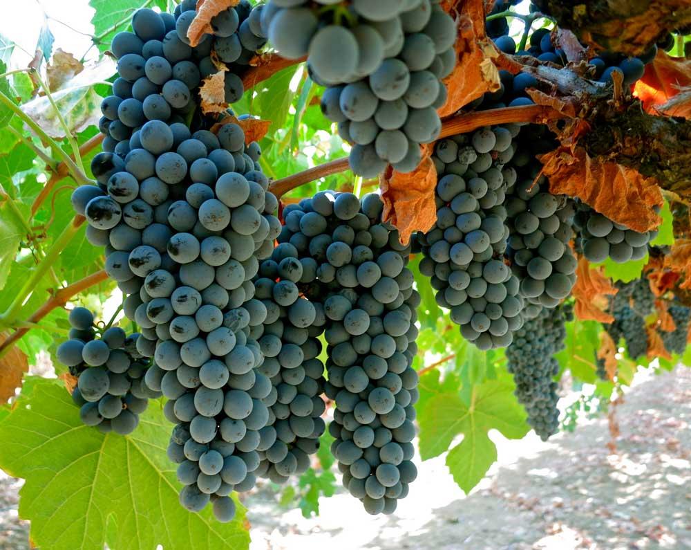 Tìm hiểu thông tin giống nho rượu Touriga Nacional từ Bồ Đào Nha
