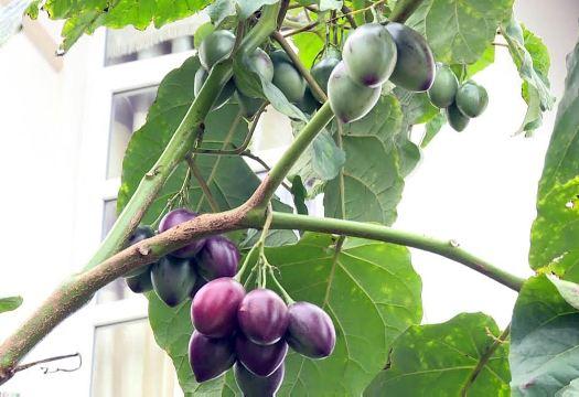 Siêu quả Magic-S được trồng tại Lâm Đồng