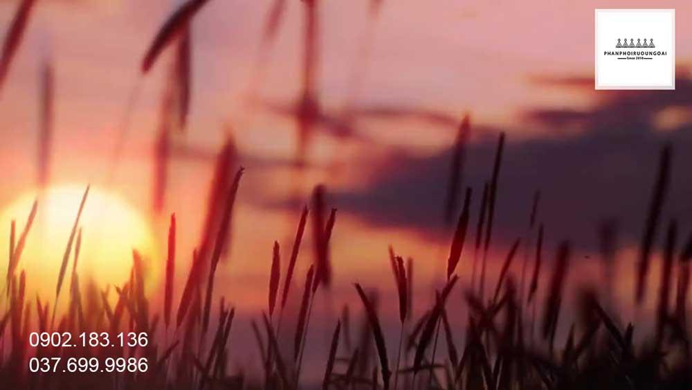 Cánh đồng lúa mỳ được truyền qua 11 thế hệ