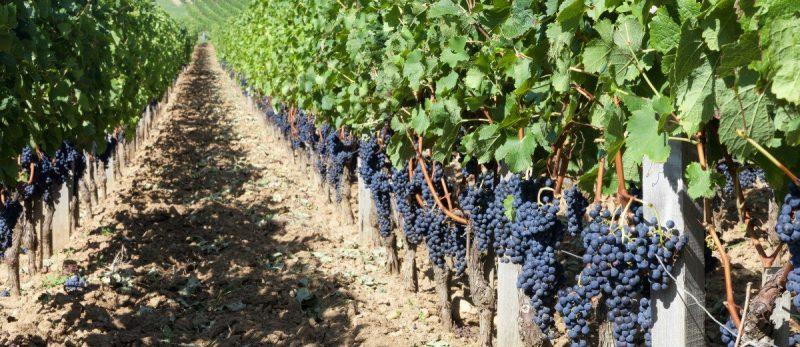 Vườn nho đạt tiêu chuẩn Bordeaux Superieur
