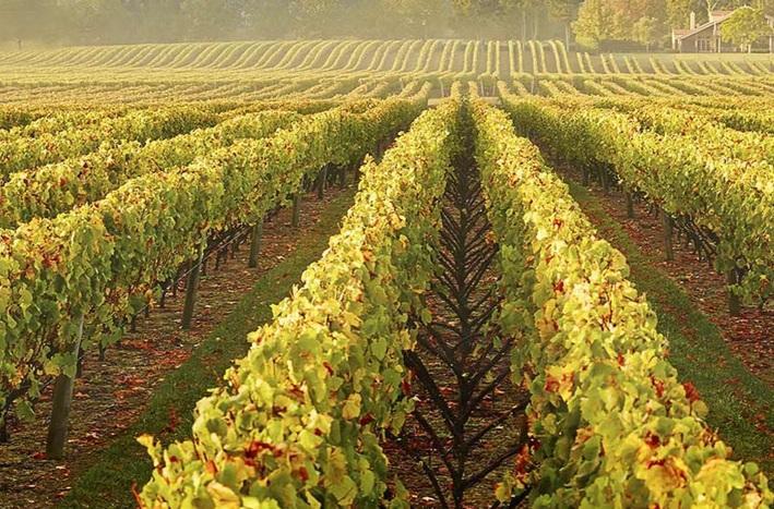 Vườn nho Chardonnay của Burgundy