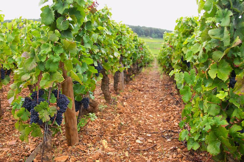 Vườn nho Pinot Noir tại Burgundy